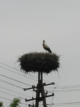 Stork nesting on telephone pole