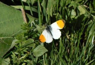 Local Butterfly