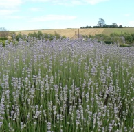 cotswold fields beyond the lavender