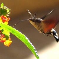 Hummingbird hawkmoth ~ Haiku