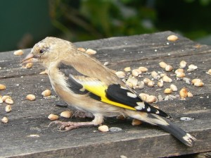 Goldfinch on the bird table