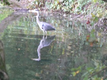Grey Heron in Hampstead