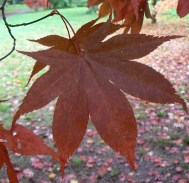 Autumn leaf at westonbirt