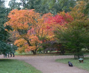My little dachsund walking amongst the Acers at Westonbirt