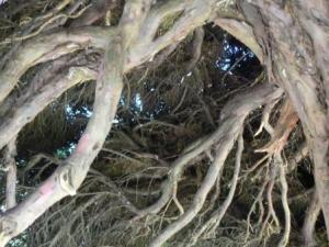Roots of the ancient Yew Tree at painswick