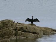 A cormorant resting