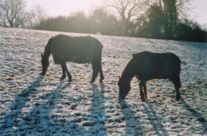 horses in snow 1