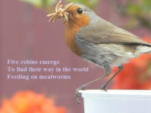 robin gathering mealworms to feed its young