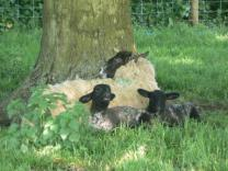 Sheep in the grounds of Hailes Abbey
