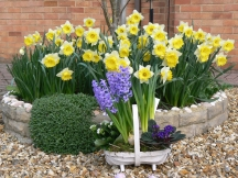 My daffodil plot and Easter flowers