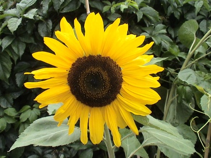 Sunflower in my garden