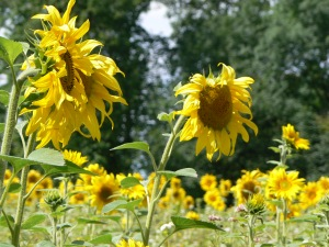 Sunflowers bow to the breeze