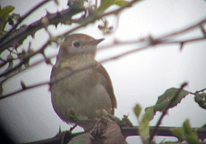 Nightingale at Cotswold Water Park
