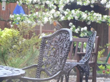 Two robins in the garden