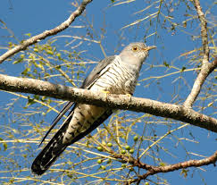 Cuckoo signals the arrival of Spring in UK