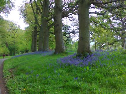Bluebells at Croft Court