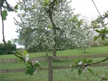 Just one apple tree of the hundreds we saw