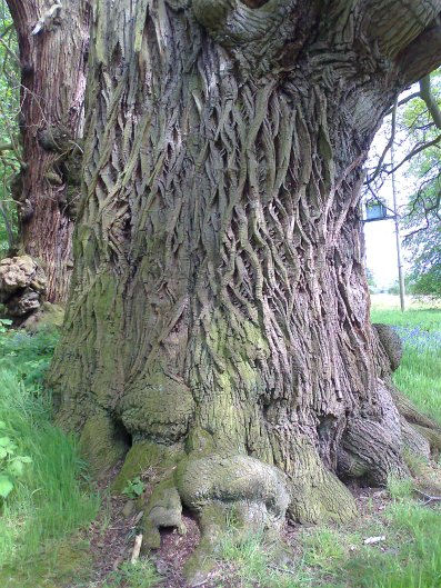 1000 year old oak tree