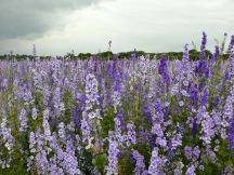 confetti fields lilac2