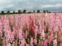 confetti fields pink