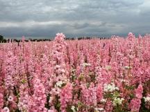 confetti fields pink1