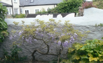 Wisteria at 2 Rocks