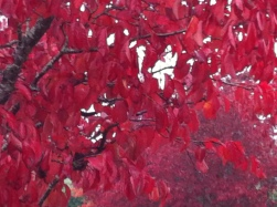 Autumn leaves at Westonbirt