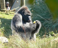 Silver backed Gorilla