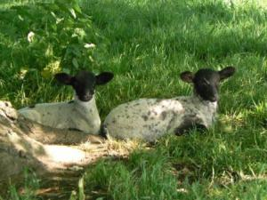 Black faced lambs in the Cotswolds