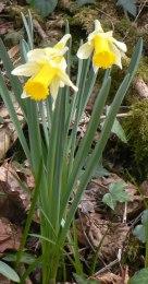 daffodil 8
