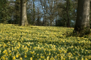 wild daffodils native to the golden triangle