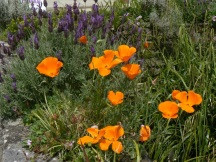 Gorgeous orange poppies