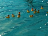 Plastic ducks at the swimming pool