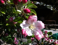 apple blossom single