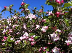 Apple blossom in my garden
