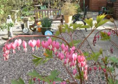 bleeding heart garden a