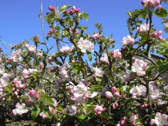 blossom tree 3