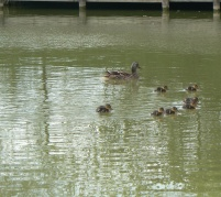 ducklings with mum