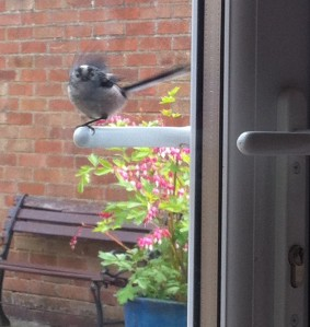 My friendly long tailed tit landing