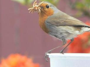 Robin redbreast gathering food for his young in my garden
