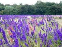 Violet coloured Delphiniums growing near Pershore