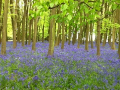 Bluebells in Bradbury Clump