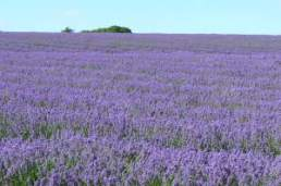 lavendar fields at Snowshill