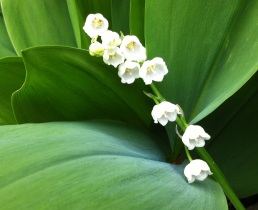 Deep Green Leaves of Lily of the valley in my garden