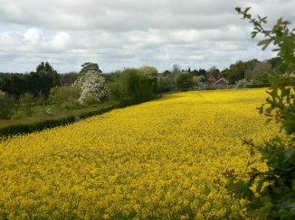 Yellow rapeseed Kimbolton, Herefordshire