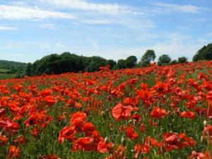 Red Poppy field in Cotswolds