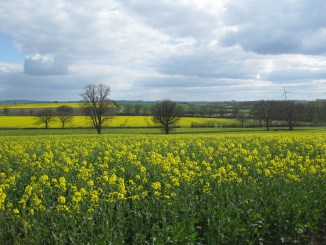Yellow Rapeseed in Cotswolds