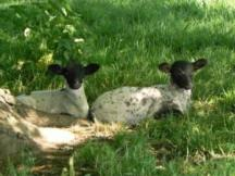 Spring lambs enjoying the fresh green grass at hailes Abbey