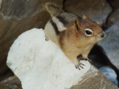 close up chipmunk on rock