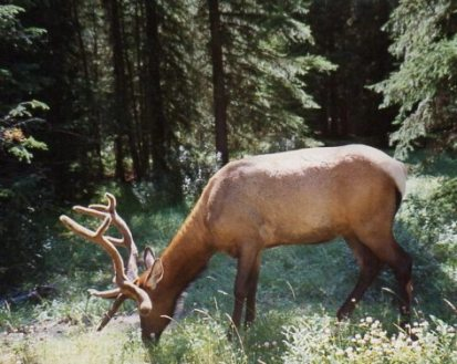 close up female elk